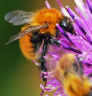 Bumblebee europea